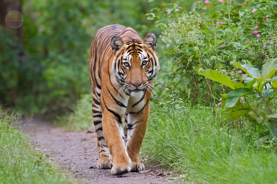 Royal Bengal Tiger Bangladesh