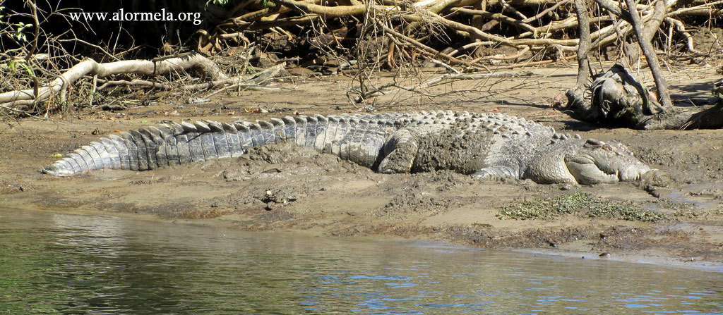 crocodile of sundarban